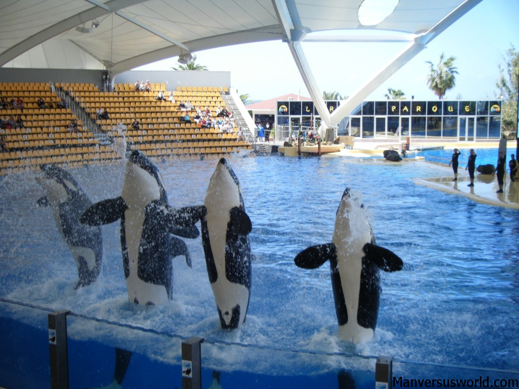 An orca show at Loro Parq in Tenerife.