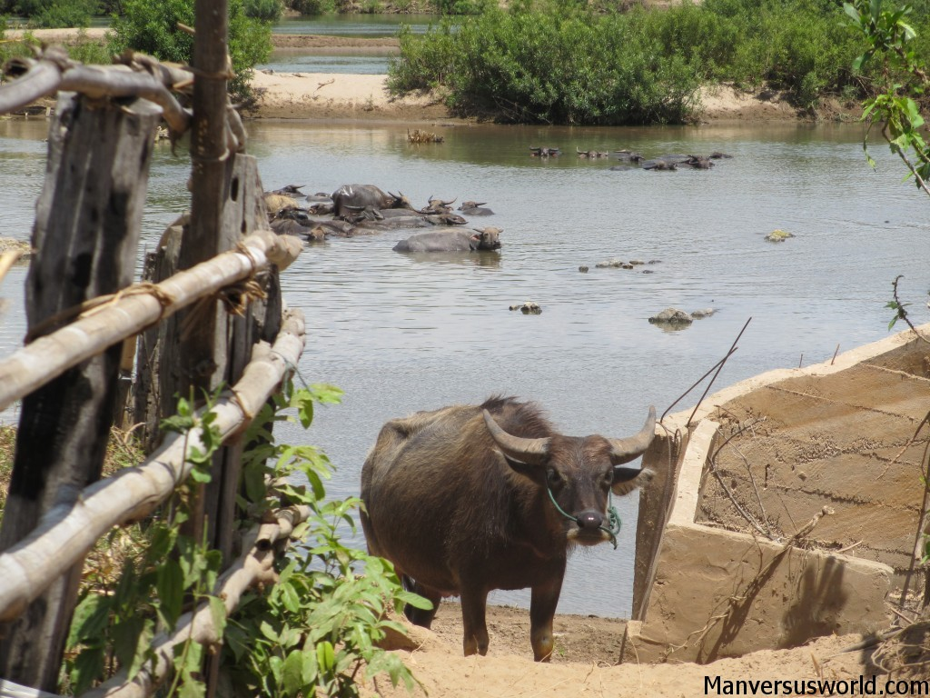 A water buffalo on Don Det Island, Laos