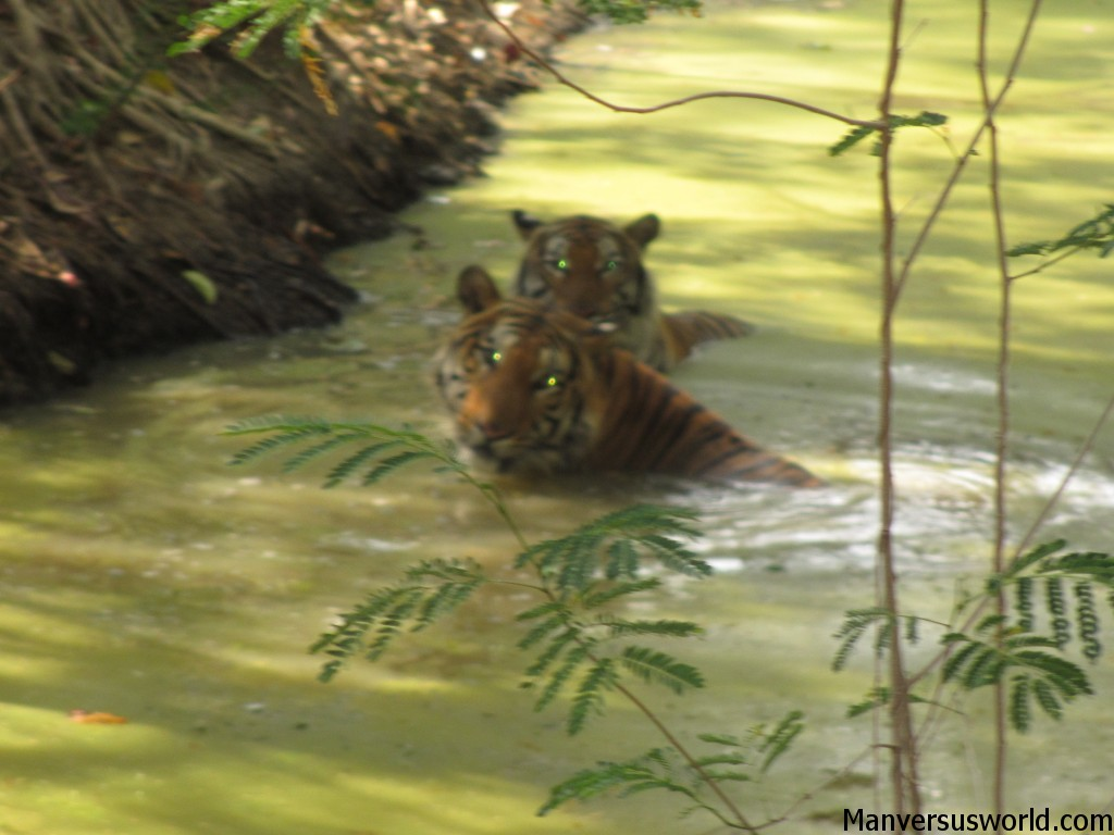 Tigers watch from the swamp at Kanchaburi Safari Park Open Zoo