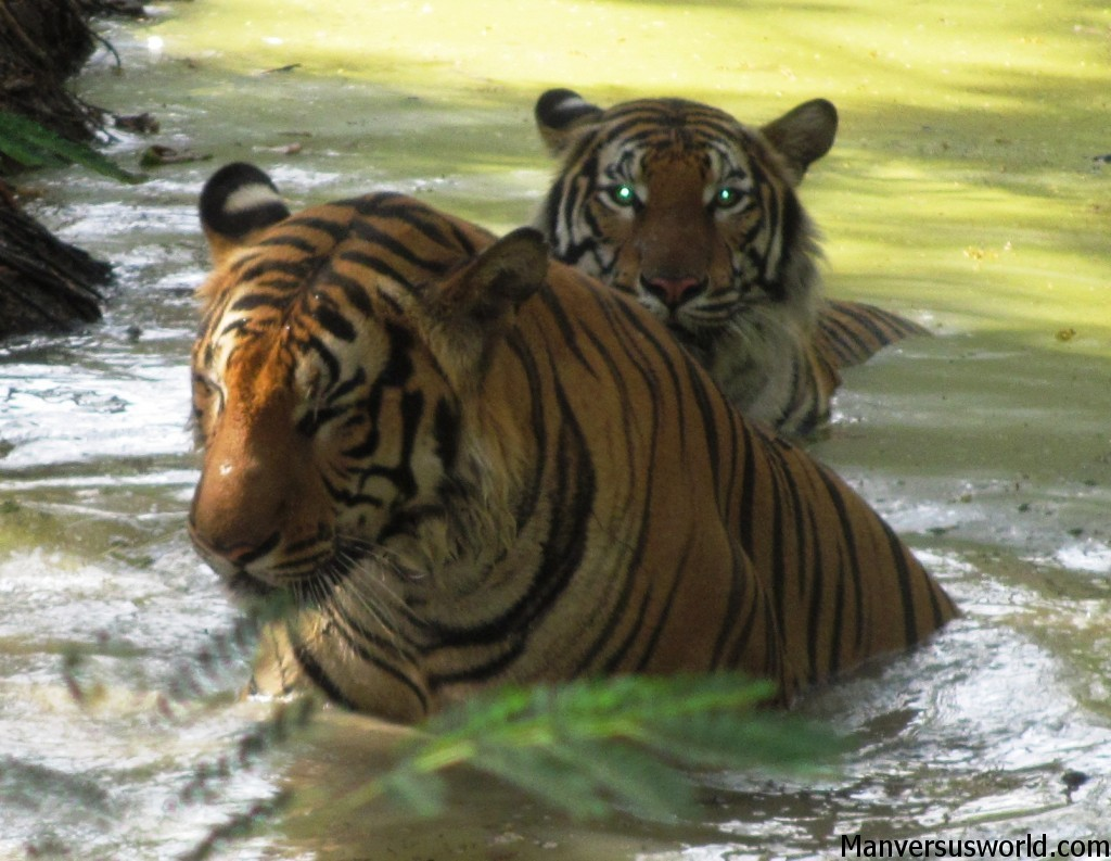 Tigers bathing at Kanchaburi Safari Park Open Zoo