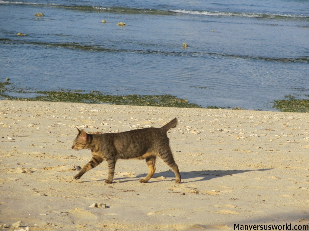 A cat parades across the beach at Gili Trawangan