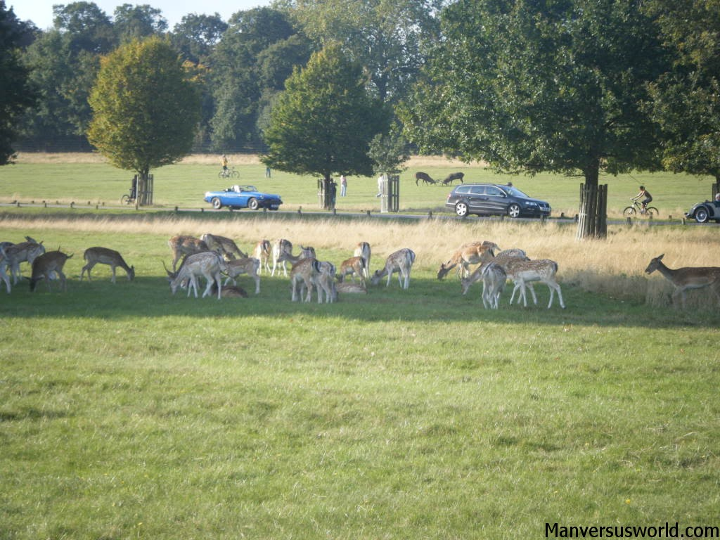 Deer graze in Richmond Park in London