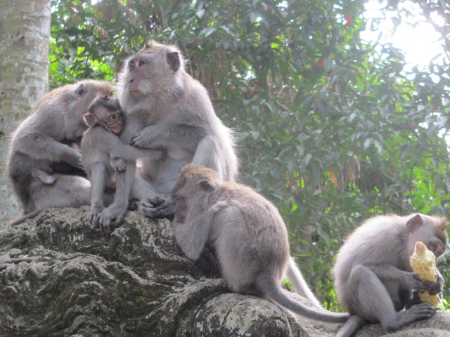 A family of monkeys inside Ubud's Monkey Forest