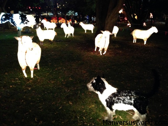 Chinese lantern sheep in Auckland, NZ