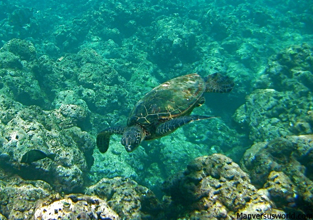 A giant sea turtle swimming amongst the blue